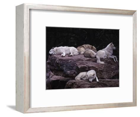 Gray Wolf, Canis Lupus-D^ Robert Franz-Framed Art Print