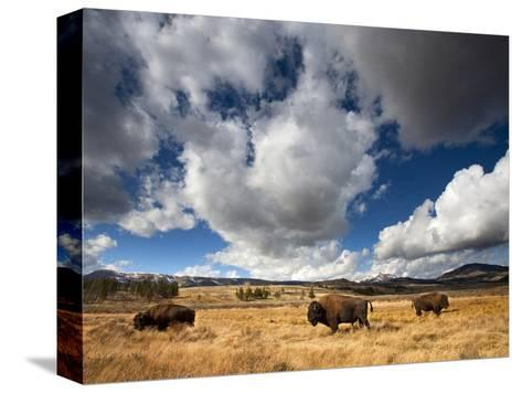 American Bison in Yellowstone National Park, Wyoming.--Stretched Canvas Print