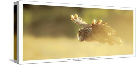 Great Grey in Fligh-Gary Crandall-Stretched Canvas Print