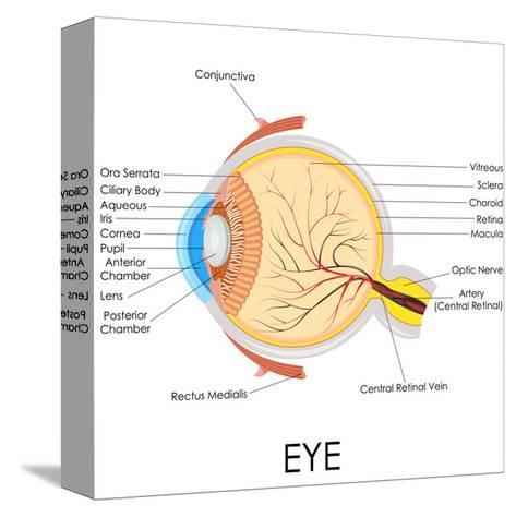 Human Eye Anatomy-stockshoppe-Stretched Canvas Print