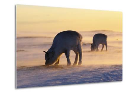 Svalbard Reindeer-Espen Bergersen-Metal Print