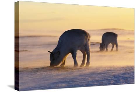 Svalbard Reindeer-Espen Bergersen-Stretched Canvas Print