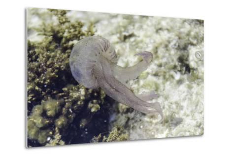 Jellyfish, Pelagia Noctiluca, Transparent Underwater Creature in the Mediterranean.-sunlight19-Metal Print