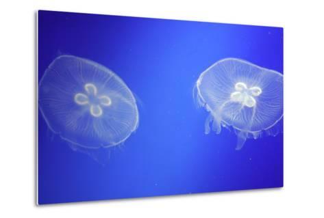Floating Jellyfish-OliverHuitson-Metal Print