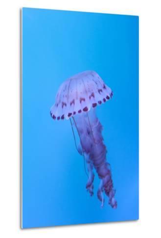 Purple Striped Jellyfish, Chrysaora Colorata-steffstarr-Metal Print