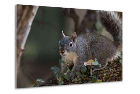 Silver - Gray Squirrel-wollertz-Metal Print