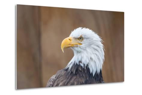 Portrait of a Bald Eagle-JHVEPhoto-Metal Print
