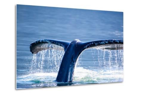 Humpback Whale Tail-JHVEPhoto-Metal Print