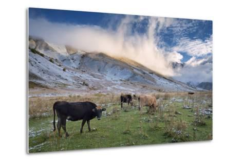 Herd of Cows in a Pasture in the Mountains. Autumn Landscape with the First Snow. Mountain Shkhara-Kotenko-Metal Print