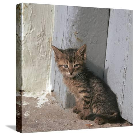 Kitten in Heracleion-CM Dixon-Stretched Canvas Print