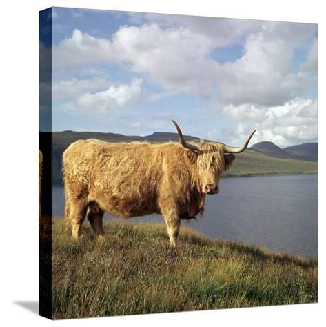 Highland Cows on the Isle of Skye-CM Dixon-Stretched Canvas Print