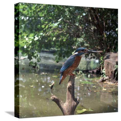 Kingfisher-CM Dixon-Stretched Canvas Print