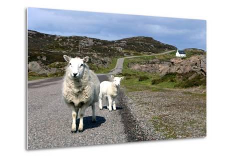Sheep and Lamb, Applecross Peninsula, Highland, Scotland-Peter Thompson-Metal Print