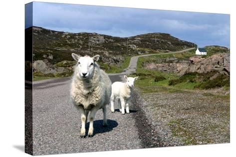 Sheep and Lamb, Applecross Peninsula, Highland, Scotland-Peter Thompson-Stretched Canvas Print