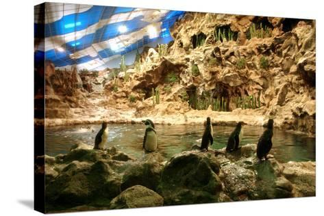 Penguins, Loro Parque, Tenerife, Canary Islands, 2007-Peter Thompson-Stretched Canvas Print
