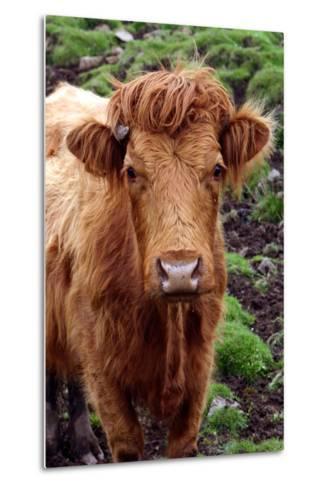 Cattle, Skye, Highland, Scotland-Peter Thompson-Metal Print