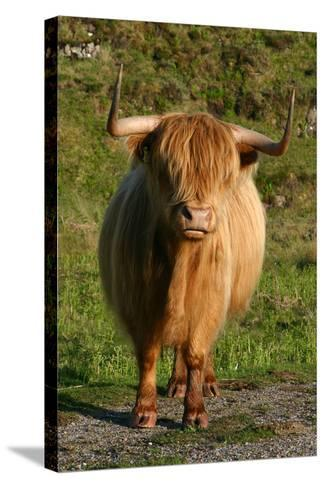 Highland Cattle, Scotland-Peter Thompson-Stretched Canvas Print