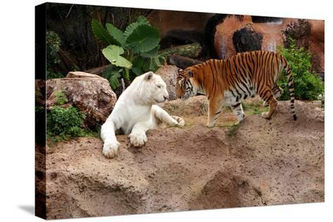 Tigers, Loro Parque, Tenerife, Canary Islands, 2007-Peter Thompson-Stretched Canvas Print