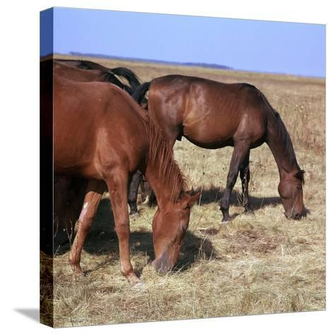 Herd of Horses Grazing on the Hortobagy Plaza-CM Dixon-Stretched Canvas Print
