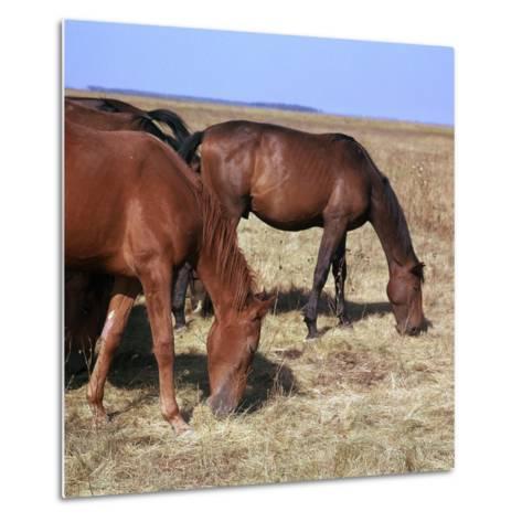Herd of Horses Grazing on the Hortobagy Plaza-CM Dixon-Metal Print