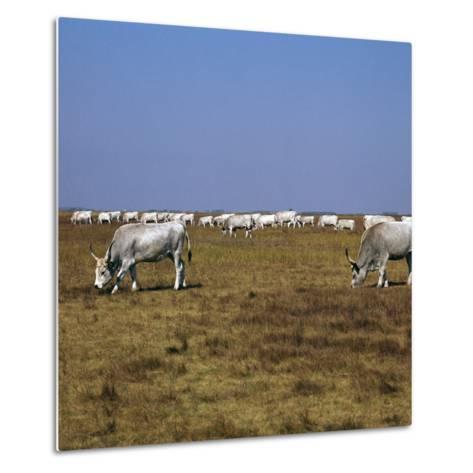 Hungarian White Cattle-CM Dixon-Metal Print