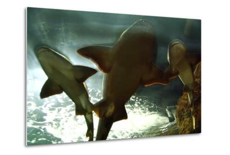 Basking Sharks in the Aquarium, Loro Parque, Tenerife, Canary Islands, 2007-Peter Thompson-Metal Print