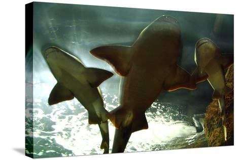 Basking Sharks in the Aquarium, Loro Parque, Tenerife, Canary Islands, 2007-Peter Thompson-Stretched Canvas Print