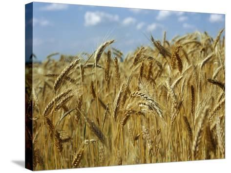 Ears of Wheat in Field-Monika Halmos-Stretched Canvas Print