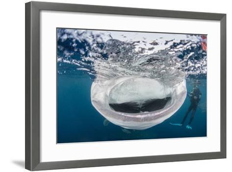 Whale Shark with Mouth Wide Open While Diver Looks On-Stocktrek Images-Framed Art Print