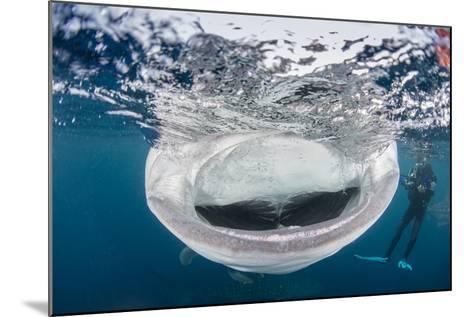 Whale Shark with Mouth Wide Open While Diver Looks On-Stocktrek Images-Mounted Photographic Print