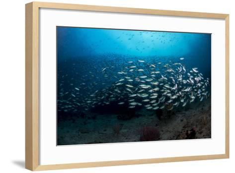 Dense School of Silver and Blue Fusilier Fish, West Papua, Indonesia-Stocktrek Images-Framed Art Print