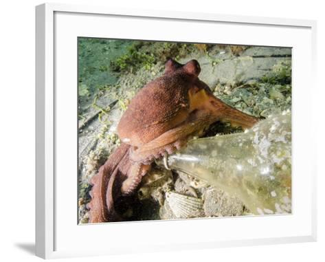 Common Octopus Protecting a Bottle, West Palm Beach, Florida-Stocktrek Images-Framed Art Print