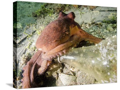 Common Octopus Protecting a Bottle, West Palm Beach, Florida-Stocktrek Images-Stretched Canvas Print