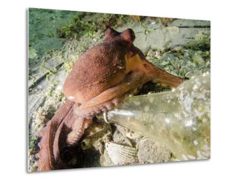 Common Octopus Protecting a Bottle, West Palm Beach, Florida-Stocktrek Images-Metal Print