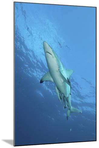 Oceanic Blacktip Shark with Remora and Pilot Fish, Aliwal Shoal, South Africa-Stocktrek Images-Mounted Photographic Print