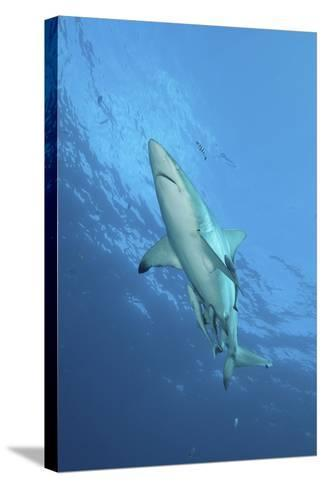 Oceanic Blacktip Shark with Remora and Pilot Fish, Aliwal Shoal, South Africa-Stocktrek Images-Stretched Canvas Print