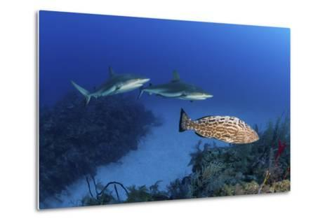 Several Caribbean Reef Sharks and a Goliath Grouper-Stocktrek Images-Metal Print