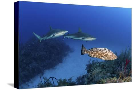 Several Caribbean Reef Sharks and a Goliath Grouper-Stocktrek Images-Stretched Canvas Print