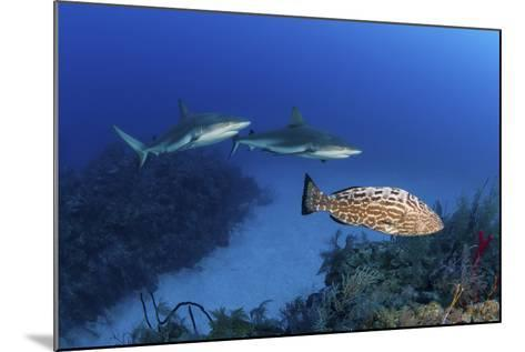 Several Caribbean Reef Sharks and a Goliath Grouper-Stocktrek Images-Mounted Photographic Print