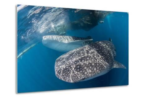 Pair of Whale Sharks Barrelling their Way Through Near the Surface-Stocktrek Images-Metal Print