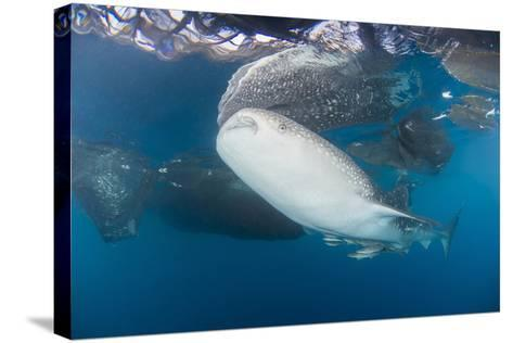 Large Whale Shark Coming Up to Siphon Water from Fishing Nets-Stocktrek Images-Stretched Canvas Print