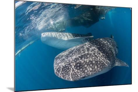 Pair of Whale Sharks Barrelling their Way Through Near the Surface-Stocktrek Images-Mounted Photographic Print