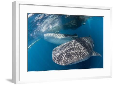Pair of Whale Sharks Barrelling their Way Through Near the Surface-Stocktrek Images-Framed Art Print