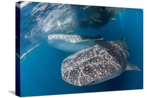 Pair of Whale Sharks Barrelling their Way Through Near the Surface-Stocktrek Images-Stretched Canvas Print