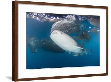 Large Whale Shark Coming Up to Siphon Water from Fishing Nets-Stocktrek Images-Framed Art Print