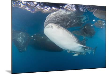 Large Whale Shark Coming Up to Siphon Water from Fishing Nets-Stocktrek Images-Mounted Photographic Print