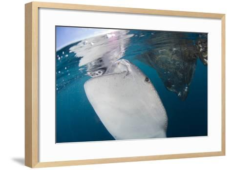 Close-Up View of a Whale Shark Breaching the Surface-Stocktrek Images-Framed Art Print