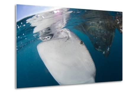 Close-Up View of a Whale Shark Breaching the Surface-Stocktrek Images-Metal Print