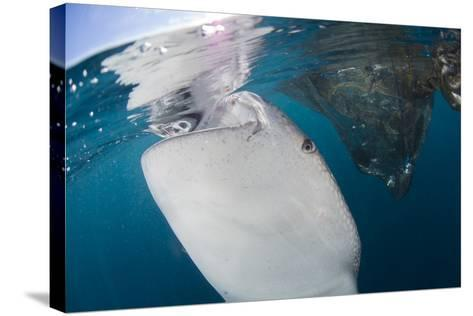 Close-Up View of a Whale Shark Breaching the Surface-Stocktrek Images-Stretched Canvas Print