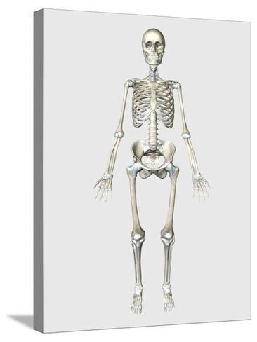Front View of Human Skeletal System-Stocktrek Images-Stretched Canvas Print